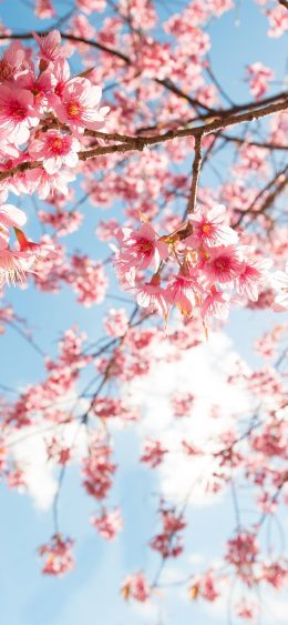 Cherry Blossom Wallpaper