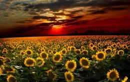 Sunflower Wallpaper