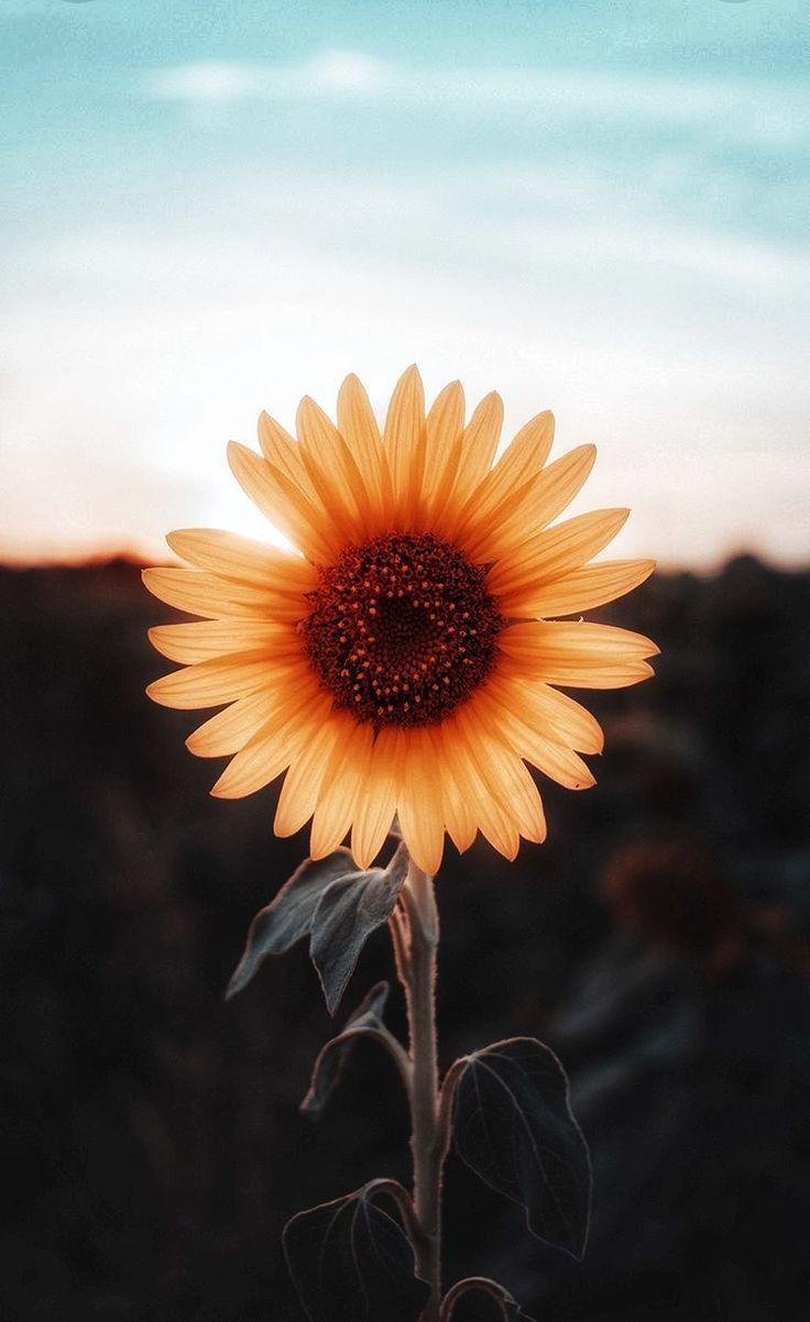 Sunflowers Fond d'écran