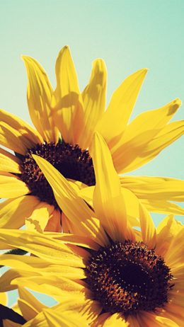 Sunflowers Hintergrundbild